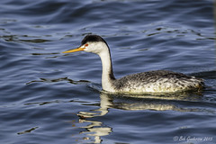 Clark's Grebe (Bob Gunderson) Tags: sanfrancisco california birds northerncalifornia boathouse lakemerced grebes clarksgrebe aechmophorusclarkii canoneos7dmarkii
