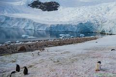 A7R-_DSC5459 (Roy Prasad) Tags: ocean travel cruise sea mountain snow reflection ice expedition water rock zeiss landscape penguin bay harbor boat gentoo ship sony antarctica glacier neko iceberg zodiac anita prasad 2470mm vario tessar adelie variotessar a7r nekoharbor royprasad anitaprasad