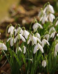 Snowdrops Northants (Adam Swaine) Tags: flowers winter wild england macro nature canon petals flora village seasons snowdrops british churchyard northants 2015 swaine