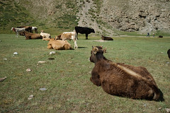 Cows (e-Shard) Tags: road travel viaje asia fuji silk journey silkroad fujifilm centralasia kyrgyzstan seda exussr viatje excccp  rutaseda fujifilmx darktable fujifilmx100 fossphotography linuxphotographer freesoftwareedit ossphotography