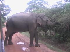 Elephant Blocking Road in Yala National Park