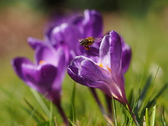 At work after winter sleep (nikjanssen) Tags: macro spring dof bokeh crocus bee explore lente bij krokus outstandingshots abigfave