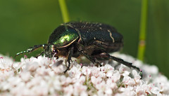 rose chafer (Johnson Cameraface) Tags: summer holiday macro green insect portland 50mm beetle july olympus dorset f2 zuiko portlandbill em1 2016 rosechafer cetoniaaurata zd micro43 johnsoncameraface omde1