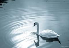 Mute swan (Nick Doronin) Tags: travel blackandwhite lake ontario canada nature birds swanlake muteswan