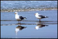 Gulls XVIII (xlod) Tags: sea holland reflection bird beach nature water netherlands animal strand meer wasser gull natur northsea mwe nordsee texel tier vogel reflektion niederlande