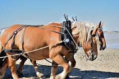 Duo attel (Mystycat =^..^=) Tags: horses france chevaux tombolo marebasse charentemaritime portdesbarques poitoucharentes pertuisdantioche passeauxboeufs estuairedelacharente llemadame