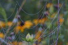 Web of Life (FiddleHiker) Tags: summer green nature topf25 minnesota yellow closeup dof bokeh outdoor spiderweb dew fv10 prairie blackeyedsusan stateparks hbw williamobrienstatepark