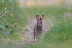 Run! (Guido de Kleijn) Tags: rabbit konijn guidodekleijn nikond500 nikon200500f56 solleveld