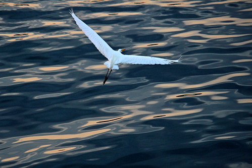 Great Egret_7328
