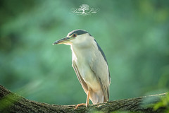 Black crowned night heron (Dawn Loehr Photography) Tags: blackcrownednightheron heron birds feathers wildlife nature forestpark dawnloehrphotography canon7dmarkii