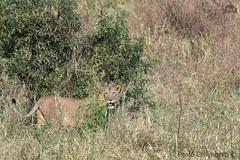 Leonessa, Lioness, Panthera leo (paolo.gislimberti) Tags: tanzania tarangire mammals mammiferi felini felines predatori predators carnivori flesheatinganimals animaliambientati animalsintheirenvironments bush fotografianaturalistica naturalisticphotography