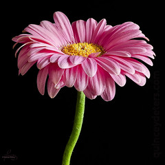 Pretty in Pink (Quincey Deters) Tags: pink stilllife canada flower blackbackground square stem flora july petal bloom asteraceae allrightsreserved gerberadaisy 2016 colourimage quinceydeters