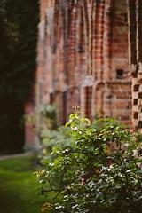 Rose (Gret B.) Tags: rose flower blume blüte blühen kloster mauern klostermauern ruine klosterruine hude