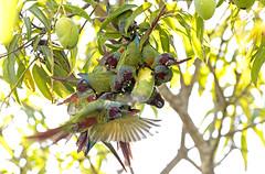 Pfrimer's Parakeet - tiriba-de-pfrimer - Pyrrhura pfrimeri
