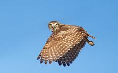 Burrowing Owl (Thy Photography) Tags: bird nature animal photography fly backyard outdoor wildlife owl prey fullframe avian birdofprey burrowingowl canon600mmf4 canoneos1dx