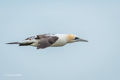 Gannet passing very close at RSPB Bempton Cliffs D50_1649.jpg (Mobile Lynn) Tags: gannet birds nature wild bird fauna pelecaniformes shag wildlife waterbird waterbirds bempton england unitedkingdom gb coth specanimal greatphotographers