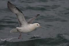 Northern Fulmar (jameslidster1) Tags: travel bird james iceland wings tour birding seabird sunbird ijsland lidster