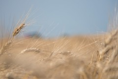 The Yellow Gold (Teo Prencipe) Tags: lumix g6 panasonic gold yellow wheat spiga ear grano capitanata tavoliere