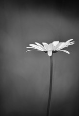 Be Strong and Courageous (chris.ph) Tags: daisy blackandwhite verse