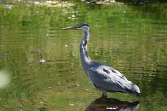 Heron (Glenn Pye) Tags: heron birds bird wildlife nature nikon nikond7200 d7200