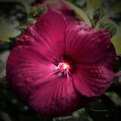 Hibiscus (DigiDi) Tags: flowers painterly backyard tea hibiscus digidi texturedcanvas magicunicornverybest