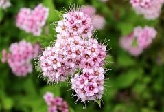 Juneau, Alaska (Robert Borden) Tags: unitedstates usa alaska pacificnorthwest juneau botanical garden wildflower green nature canon pink