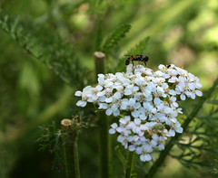 Hoverfly on Yarrow (froggieb - Broken Camera, limited to cell phone :() Tags: hoverfly flowerfly syrphidfly syrphidae yarrow flower blooms white achilleamillefolium outside nature gardening