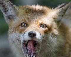 Fox looking funny! (Tambako the Jaguar) Tags: cute funny grimace tongue portrait face close fox red brown canine jonskleinefarm kallnach zoo bern switzerland nikon d4