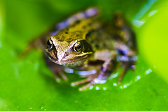 Frog Eyes (JasPrS) Tags: frogs wildlife countryside nature pondlife ponds water frog eyes amphibian kermit coldblooded frogeyes fauna spawn