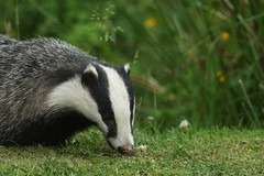 I was in CLOVER. (Sandra Standbridge.) Tags: scotland wildandfree outdoor badger mammal grass animal clover melesmeles nocturnal night