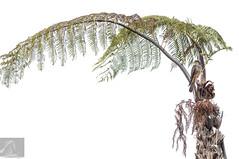 Karearea 71 (Black Stallion Photography) Tags: male newzealand falcon karearea bird prey wildlife ponga fern green brown yellow native black stallion photography igallopfree