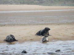 Seals, Newburgh Sands, Aberdeenshire, July 2016 (allanmaciver) Tags: newburghsandsjuly2016 seals newburgh sands aberdeenshire north east coast admire enjoy delight wait rest swim sea ythan river