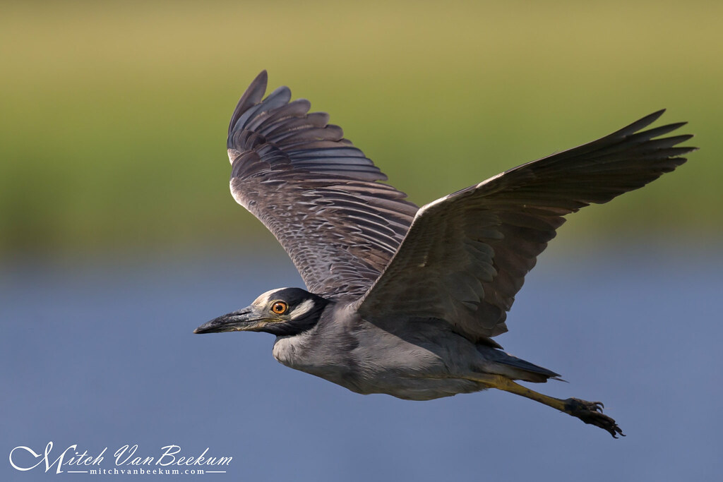 Yellow-Crowned Night Heron (Explored)