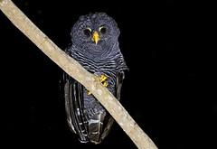 Black-banded Owl - coruja-preta - Strix huhula