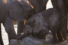 Elephants (wietsej) Tags: elephants etosha namibia rx10m3 sony animal