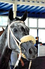 2016-08-13 (9) r6 #9 Synergist (JLeeFleenor) Tags: photos photography md maryland marylandhorseracing marylandracing laurelpark hot horses thoroughbreds equine equestrian cheval cavalo cavallo cavall caballo pferd paard perd hevonen hest hestur cal kon konj beygir capall ceffyl cuddy yarraman faras alogo soos kuda uma pfeerd koin حصان кон 马 häst άλογο סוס घोड़ा 馬 koń лошадь paddock grey gray