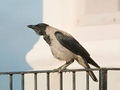 Cornacchia grigia - Corvus cornix - Hooded Crow (vieri bertola) Tags: uccelli cornacchia beinale