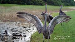 You Shall Not Pass! (AngelaC2009***) Tags: 2016 august summer riverview florida wildlife birds backyardwildlife sandhillcranes cranes pond canonrebelxt platinumheartaward