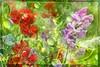 "Essence of Summer (Diana Thorold.) Tags: dianathorold psp 2016 kpt5 flickr texture flamingpear fractalis interesting art manipulate summer flowers sweetpeas essence magicunicornverybest artdigital ""exoticimage"" netartii shockofthenew awardtree greenscene ie wow"