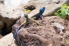 Blue headed agama lizard and friend (gallinita roja) Tags: lakekivu rwanda africa hotelparadismalahide blue headed agama lizard lake kivu