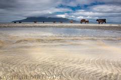 laig-bay-Eigg-b_51A8315 (cARTerART) Tags: eigg scotland cows beach vacation holiday cattle rhum isle rum laig