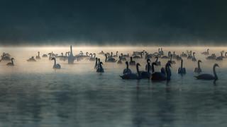 a real nature Opera Swan Lake