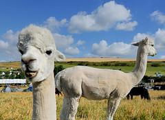 Saying Cheese (MrHRdg) Tags: llama camping campsite eweleazefarm dorset freeassociation