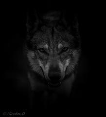 Sans l'ombre d'un doute... (Pilouchy) Tags: wolf monochrome regard eyes noir story legend histoire conte animal free wild life vie wood lumiere