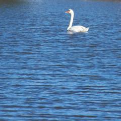 swan (f.tyrrell717) Tags: point pleasnt ocan shore lake lillys