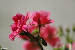 ... in un giardino di montagna # 4 (antosti) Tags: veneto sanvito cadore giardino fiori flowers nikon d70s garden pelargonio rosso