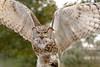 Eurasian eagle-owl ( Bubo  Bubo ) (dorrisd) Tags: owl nocturnal predator wingspan wings facialdisc eyes beady feathers oehoe bubobubo eurasianeagleowl mieneke andeweg closeup dorrisd nachtdier uil veren roofvogel birdofprey canon outdoors fierce netherlands nederland