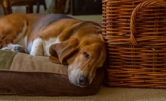 Power Napper (suzeesusie) Tags: hounddog bassethound dog hound pet animal hund chien pero basset sleeping furry droopy