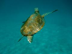 just passing through... (Explored) (w3inc / Bill) Tags: w3inc nikon aw130 turtle caribbean barbados alleynesbay blue swimming vaca hss sliderssunday