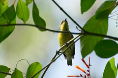 Purple Sunbird (Female) (sadman_shiper) Tags: wildlife purple sunbird outdoor